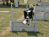border-collie2
